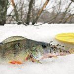 Ловля окуня зимой на живца