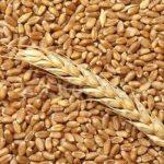Пшеница для рыбалки