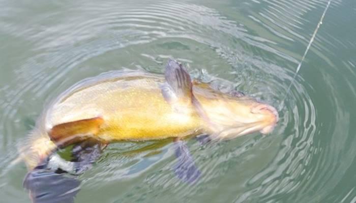 Весенняя ловля линя на поплавчанку